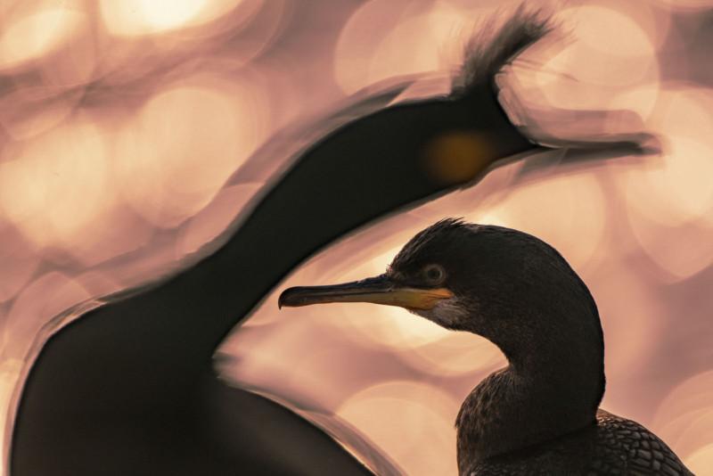 Majed-Alzaabi-Bird-Photographer-2020