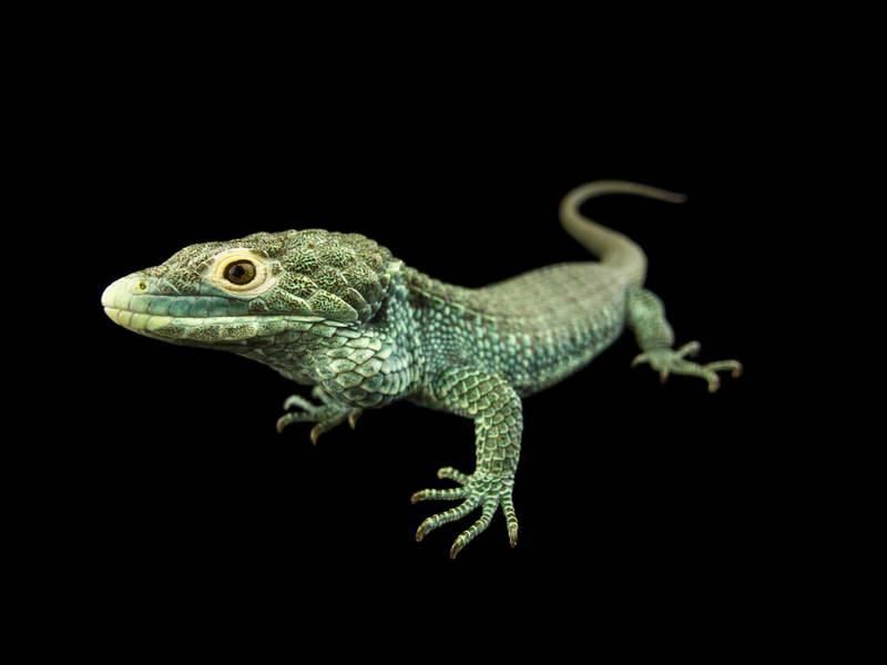 Bocourt's Arboreal Alligator_oppo_natgeo_1