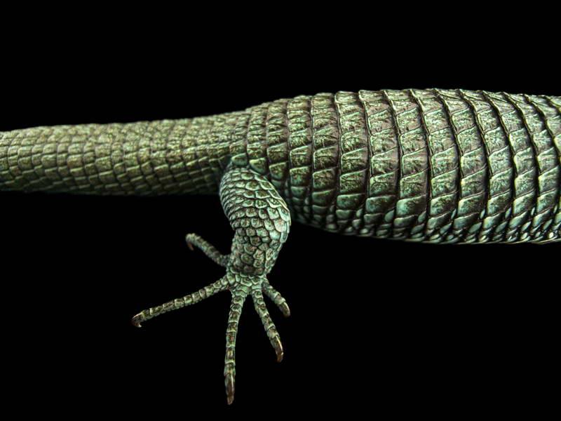 Bocourt's Arboreal Alligator_oppo_natgeo_2