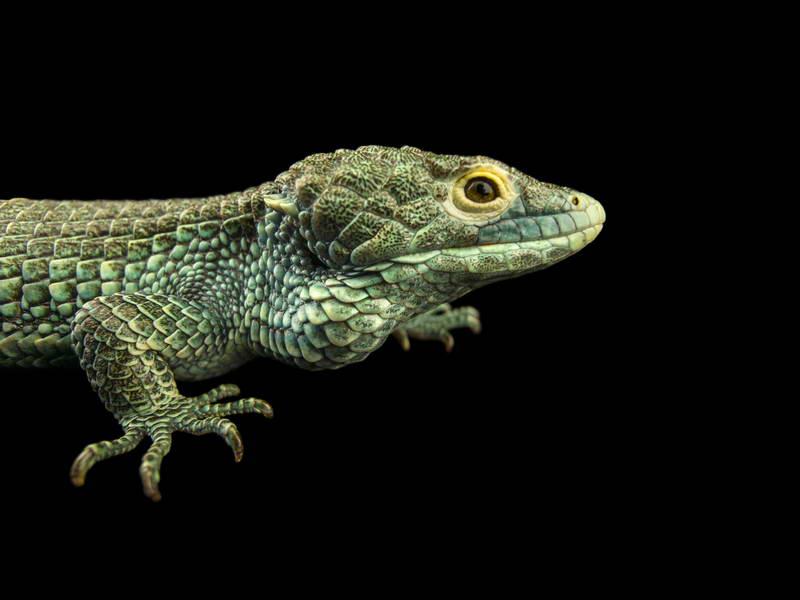 Bocourt's Arboreal Alligator_oppo_natgeo_3