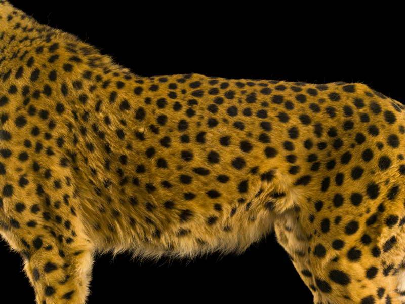 Cheetah_oppo_natgeo_1