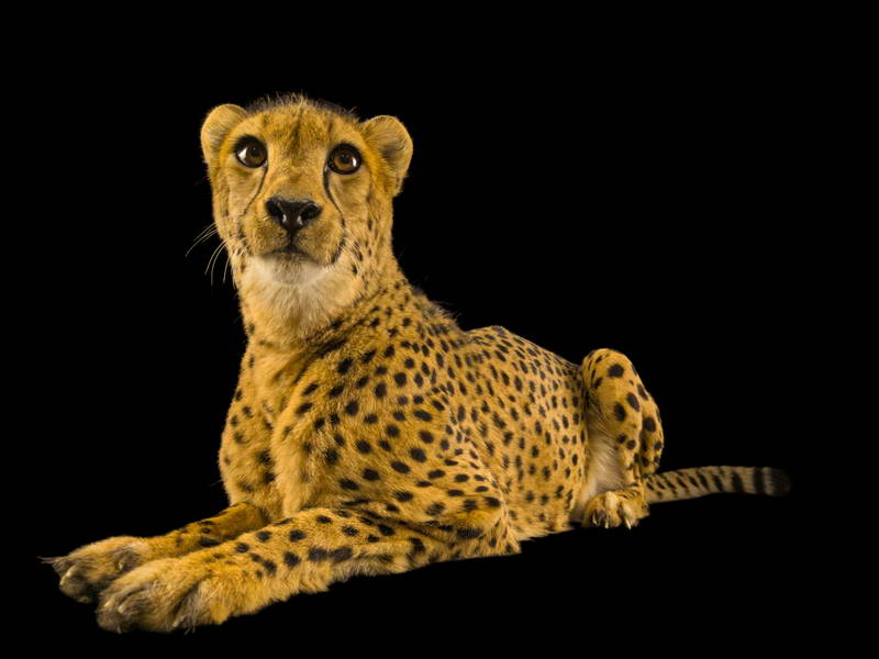 Cheetah_oppo_natgeo_2
