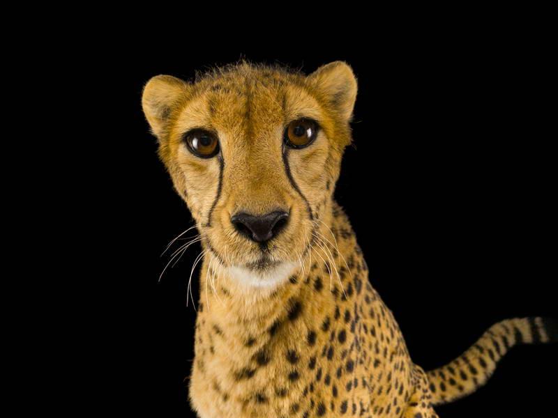 Cheetah_oppo_natgeo_3