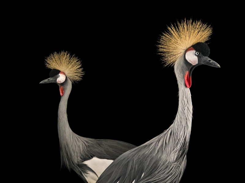 Crowned Crane_oppo_natgeo_1