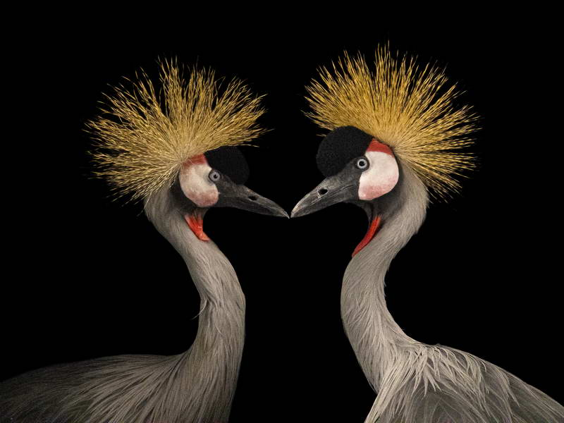Crowned Crane_oppo_natgeo_2