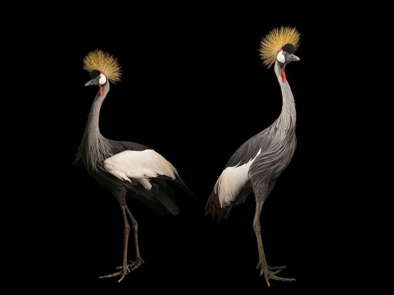 Crowned Crane_oppo_natgeo_3