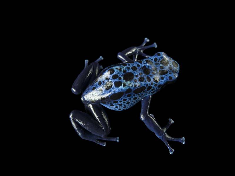 Dyeing Poison Dart Frog_oppo_natgeo_2