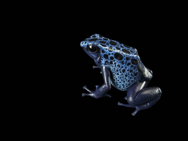 Dyeing Poison Dart Frog_oppo_natgeo_3