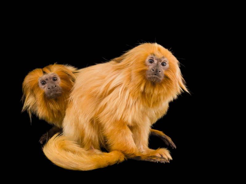 Golden Lion Tamarins_oppo_natgeo_1