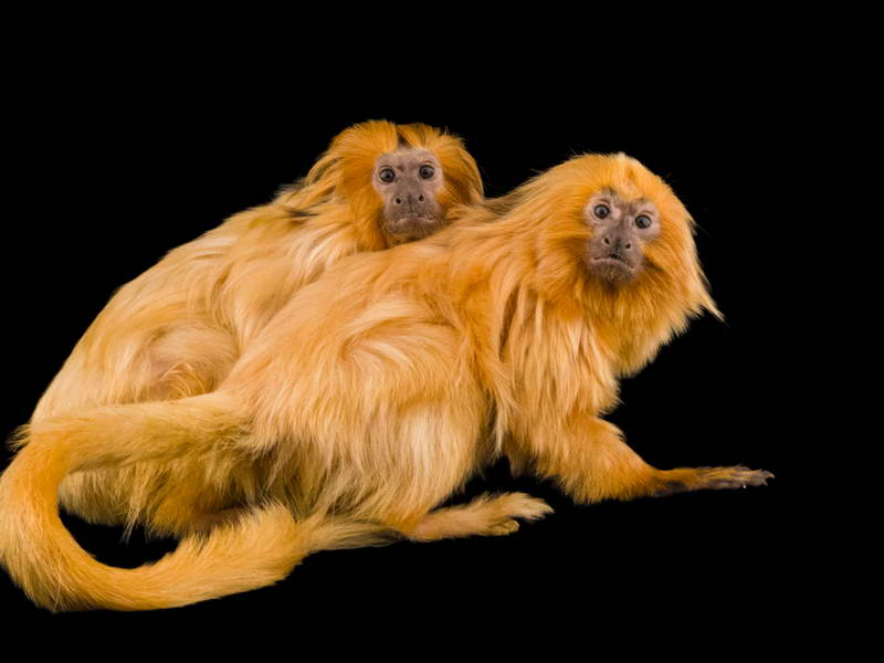 Golden Lion Tamarins_oppo_natgeo_2