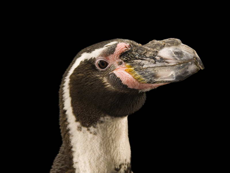Humboldt Penguins_oppo_natgeo_1