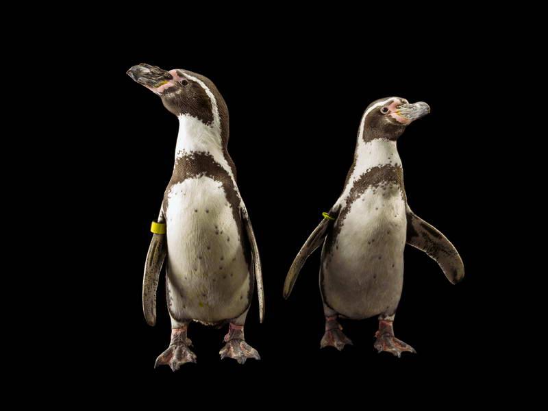 Humboldt Penguins_oppo_natgeo_2