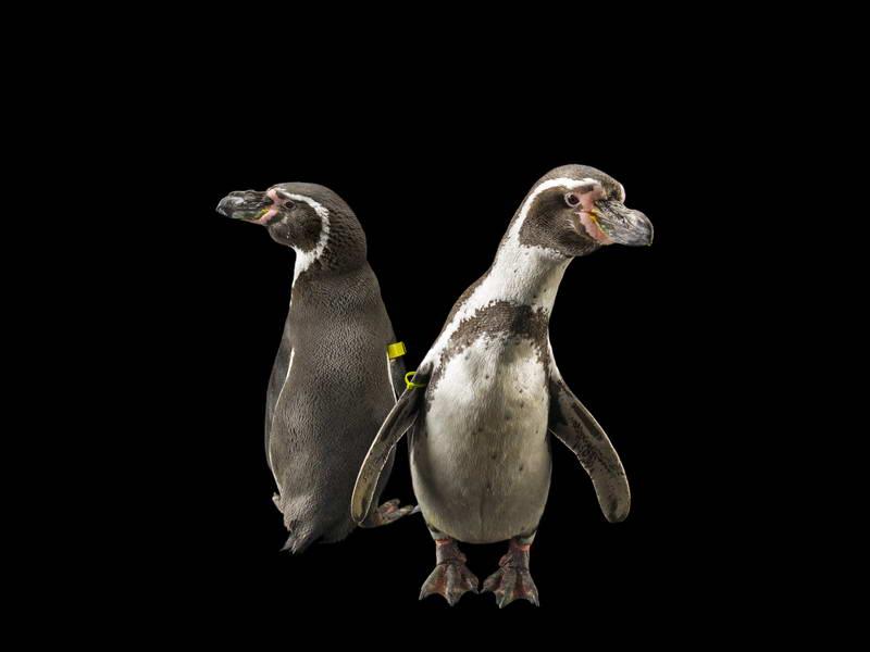 Humboldt Penguins_oppo_natgeo_3