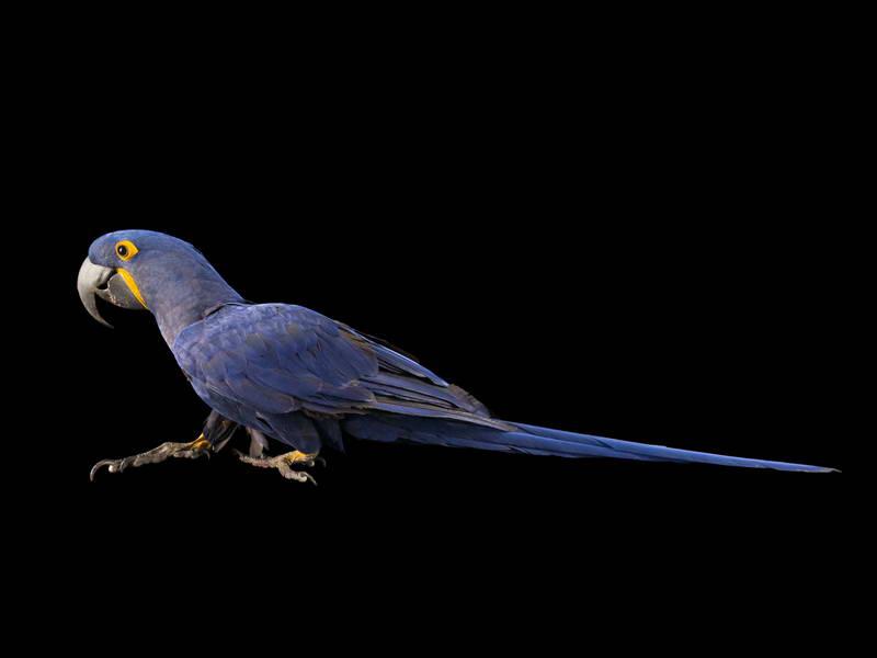 Hyacinth Macaw_oppo_natgeo_1