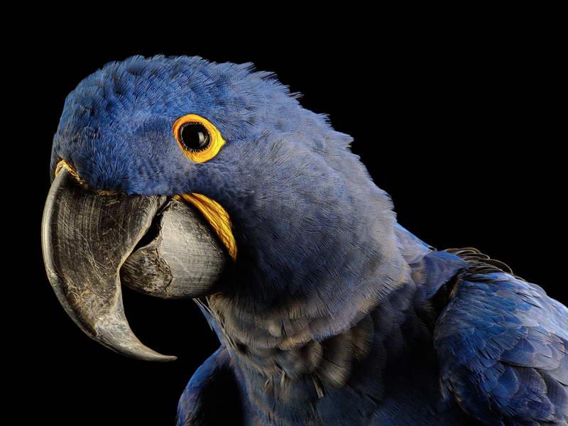Hyacinth Macaw_oppo_natgeo_3
