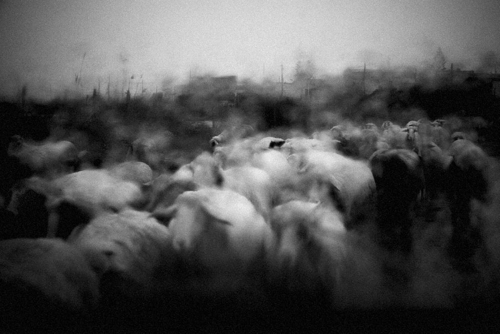 patrizia-galia-intervista-bianconero-sicilia-gregge-sotto-la-pioggia
