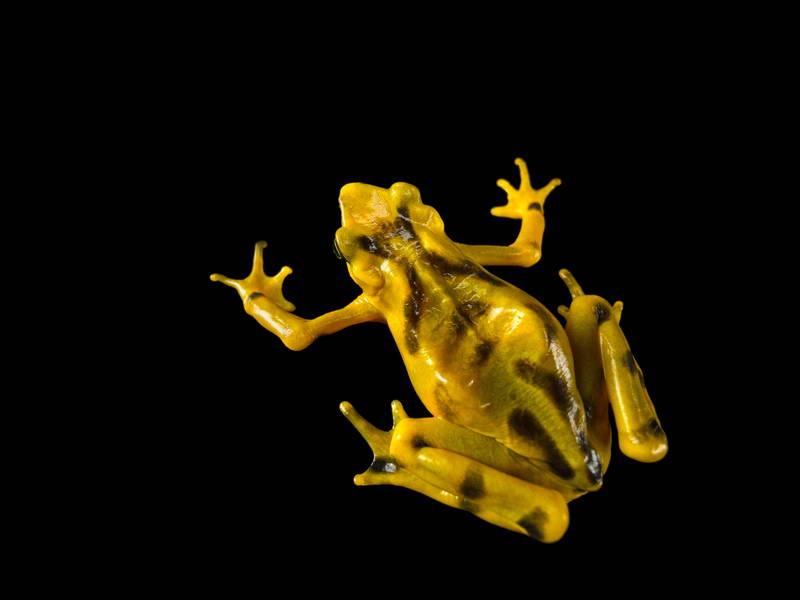 Panamanian Golden Frogs_oppo_natgeo_1