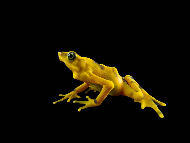 Panamanian Golden Frogs_oppo_natgeo_2