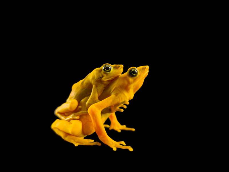 Panamanian Golden Frogs_oppo_natgeo_3