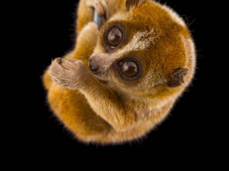 Pygmy Slow Loris_oppo_natgeo_1