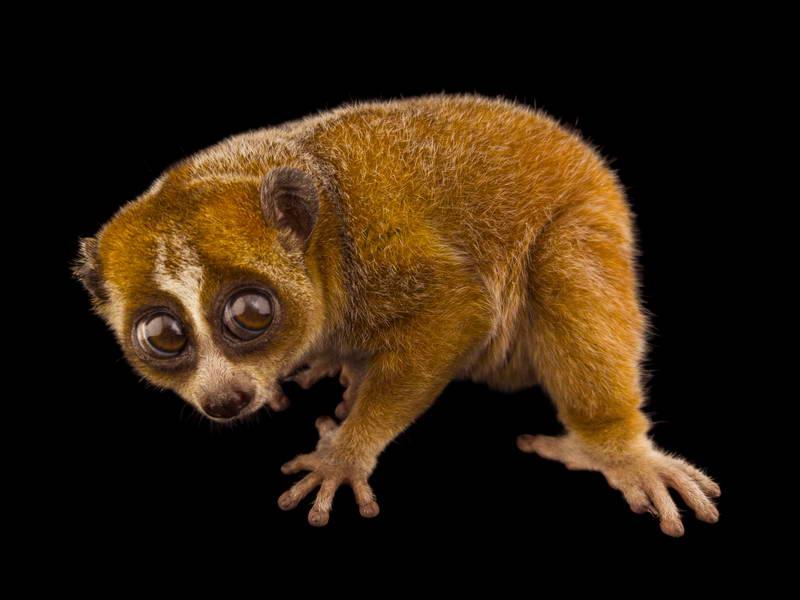 Pygmy Slow Loris_oppo_natgeo_2