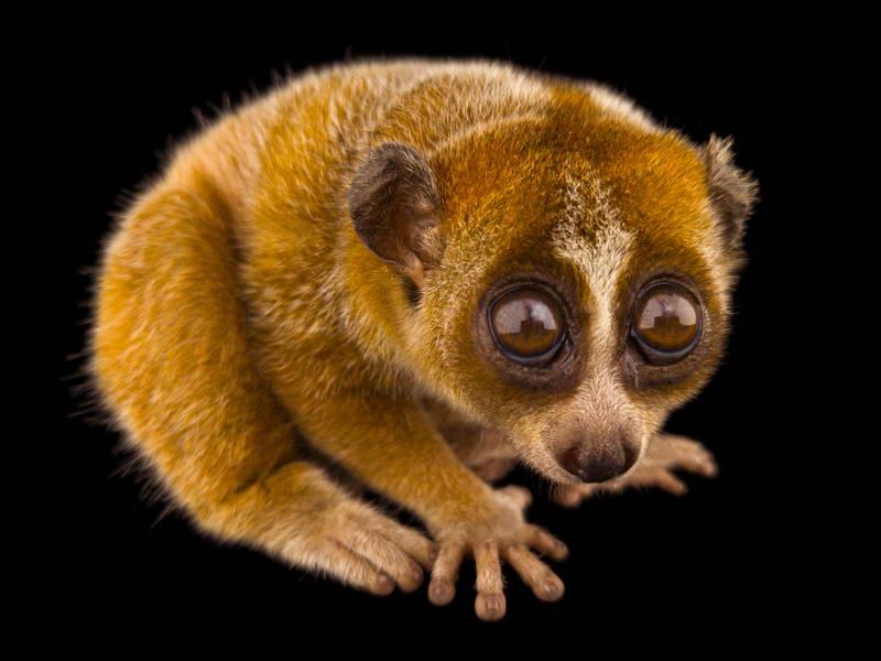 Pygmy Slow Loris_oppo_natgeo_3