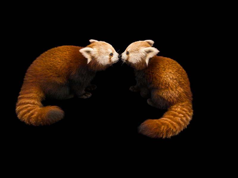 Red Panda_oppo_natgeo_2