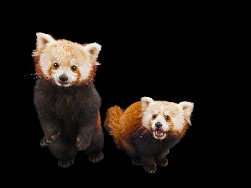 Red Panda_oppo_natgeo_3