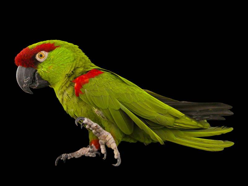 Thick-Billed Parrot_oppo_natgeo_1