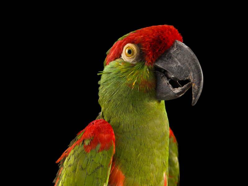 Thick-Billed Parrot_oppo_natgeo_2