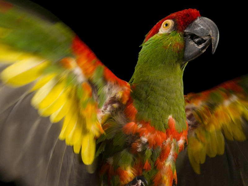 Thick-Billed Parrot_oppo_natgeo_3